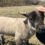 『Through Me』に厚真町の羊農家さんの記事が掲載されました。